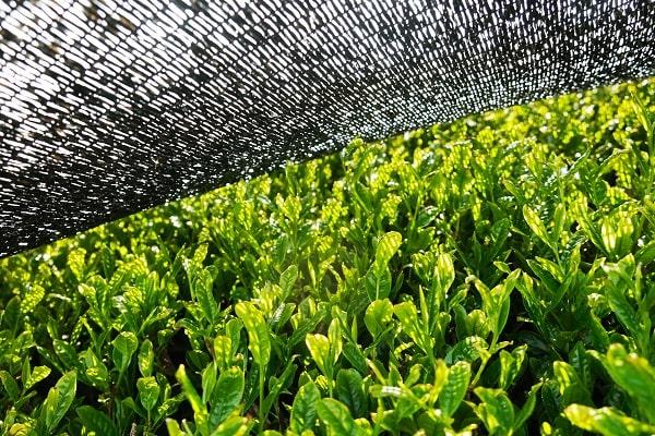 Anbau von bio Matcha, Matcha Beschattung der sonnenverwöhnten Blätter vor der Ernte