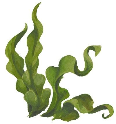 Bio Kelppulver aus kontrolliert biologischer Kultivierung fein vermahlen von bioKontor