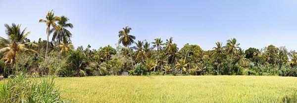 Kokosnuss Plantage