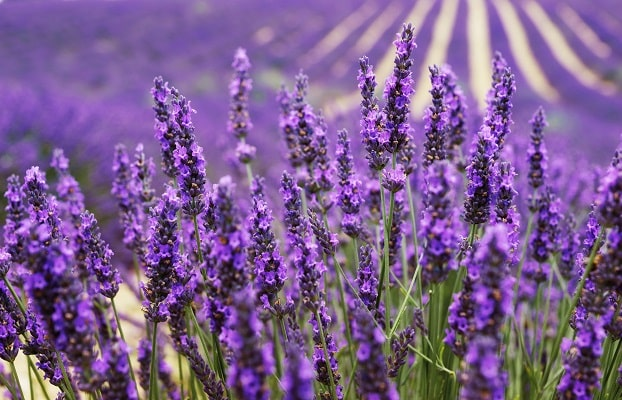 Blühender Lavendel kurz vor der Ernte auf dem Feld