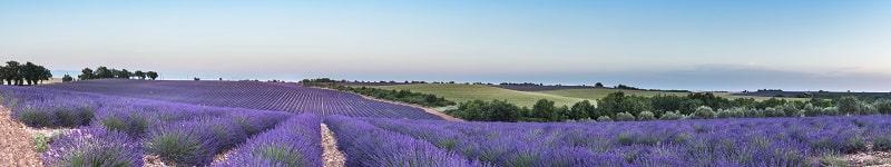 Lavendelfeld für getrocknete bio Lavendelblüten aus kontrolliert biologischem Anbau