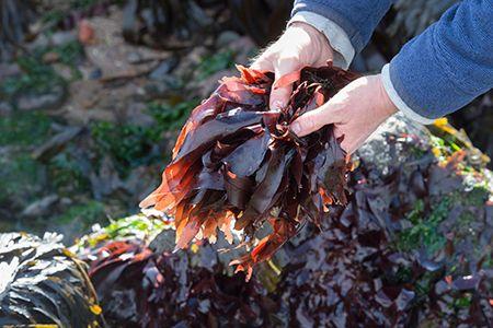 Frische Dulse Algen direkt nach der Ernte